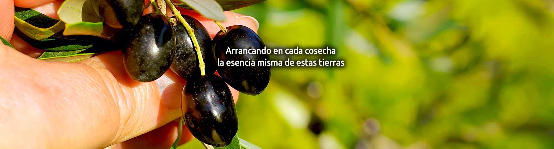 cooperativa Cozar de la Sierra olivas