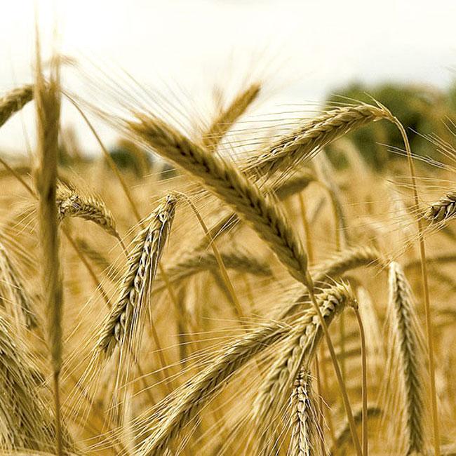 cereales de La Mancha